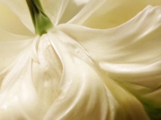Winter White Tulip