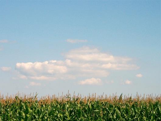 Corn Field in Honeywood, Ontario