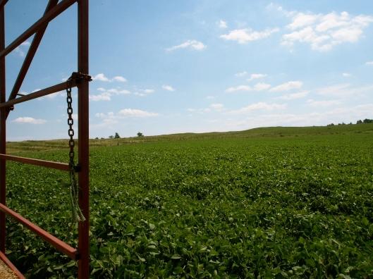 Soy Bean Field in Honeywood, Ontario