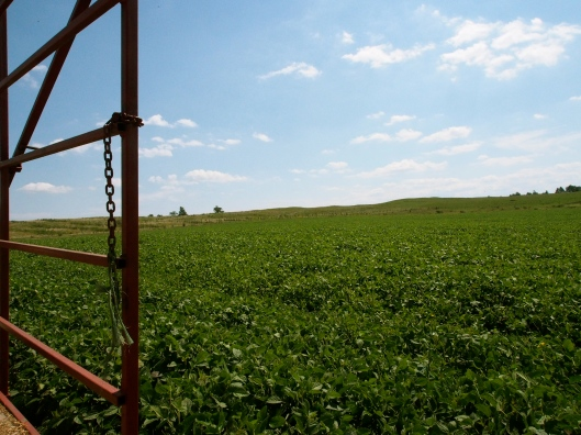 Soy Bean Field in Honeywood, Ontario